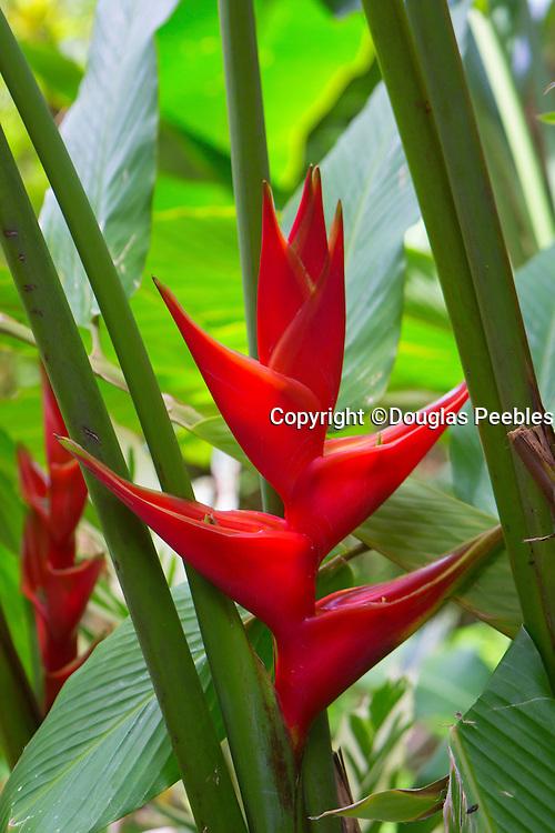 Heliconia, Hawaii Tropical Botanical Garden, Hilo, Hamakua Coast, Big Island of Hawaii