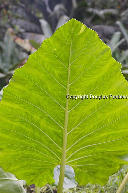 Giant taro leaf<br />