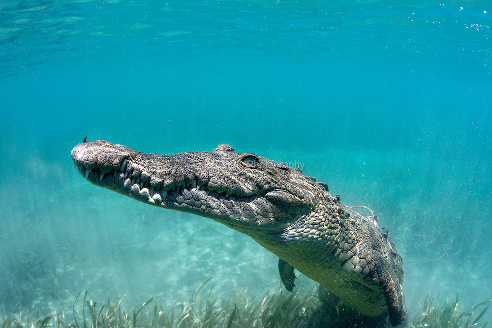 An American Crocodile rests underwater off the coast of Cuba.