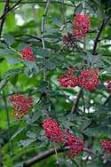 Red Elderberry (Sambucus racemosa) berries in the forest of Derby Reach Regional Park in Langley, British Columbia, Canada.