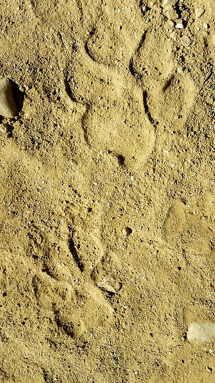 Footprints of a Striped Hyena (Hyaena hyaena) Photographed in the Arava desert, israel in November