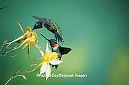 01162-05114 Ruby-throated Hummingbird (Archilochus colubris) males on Yellow Columbine (Aquilegia chrysantha) Shelby Co.  IL