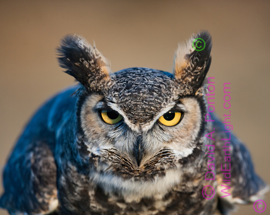 Great-horned owl portrait, with owl leaning forward aggressively towards point of view, ear tufts prominent. © David A. Ponton