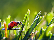 A macro shot of a ladybug (Coccinella magnifica) in the dew covered sunlit grass.