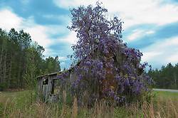 Wisteria growing over an abandoned house in South Carolina