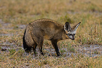 A bat-eared fox, Nxai Pan National Park, Botswana. It large ears are used for thermoregulation, a means of cooling the body.