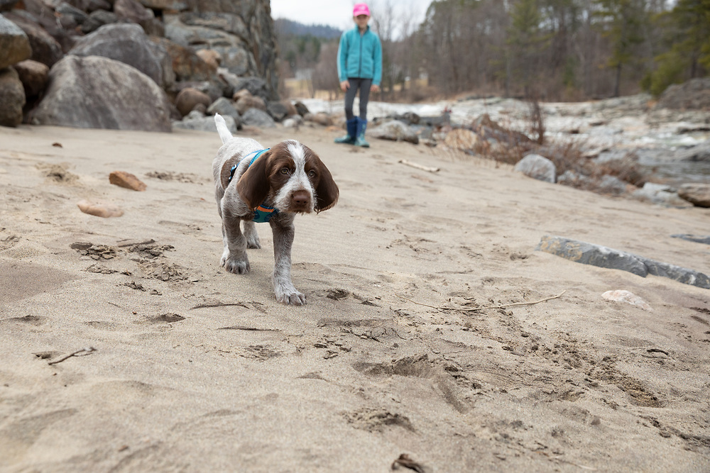 Spinone Italiano puppy walking on the sandy river bank of the Ausable River