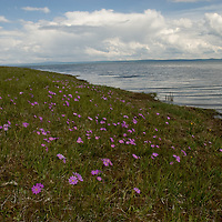 Wildflowers grow beside Lake Hovsgol Mongolia's Hovsgol National Park.