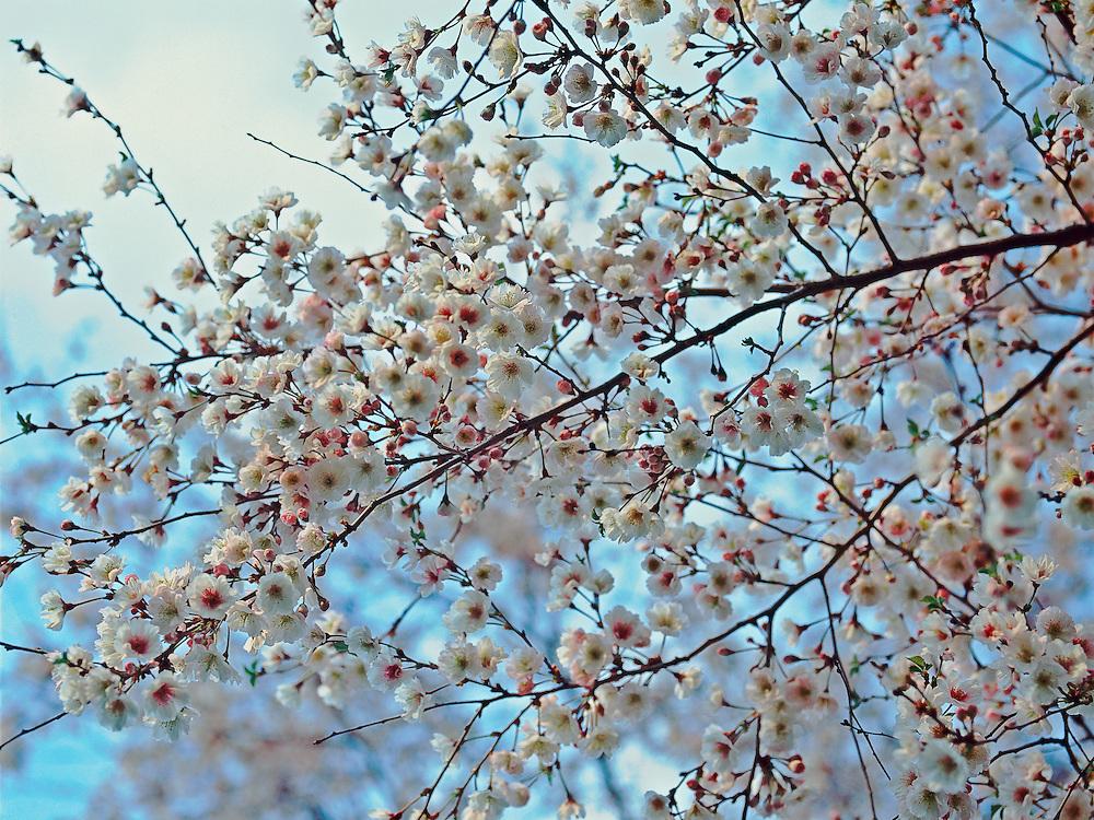 Cherry Blossom Branches, Brooklyn Botanic Garden, Brooklyn, New York