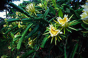 Night blooming cereus<br />