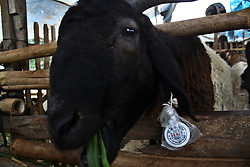 August 29, 2017 - Bekasi District, West Java, Indonesia - Livestock is collected at a livestock sale place in Bekasi, West Java, Indonesia, on Tuesday, August 29, 2017.  As Indonesian Muslims prepared for Eid al-Adha or Festival of Sacrifice, Indonesia government urges people to buy livestock for sacrifices that have passed the health examination and labeled 'HEALTHY' from the Departement of Agriculture, as a protecction to consumers to avoid the anthrax, nail and mouth disease. (Credit Image: © Aditya Irawan/NurPhoto via ZUMA Press)