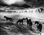 Horses roam the early morning pastures of Woodinville. (Josef Scaylea / The Seattle Times, 1964)