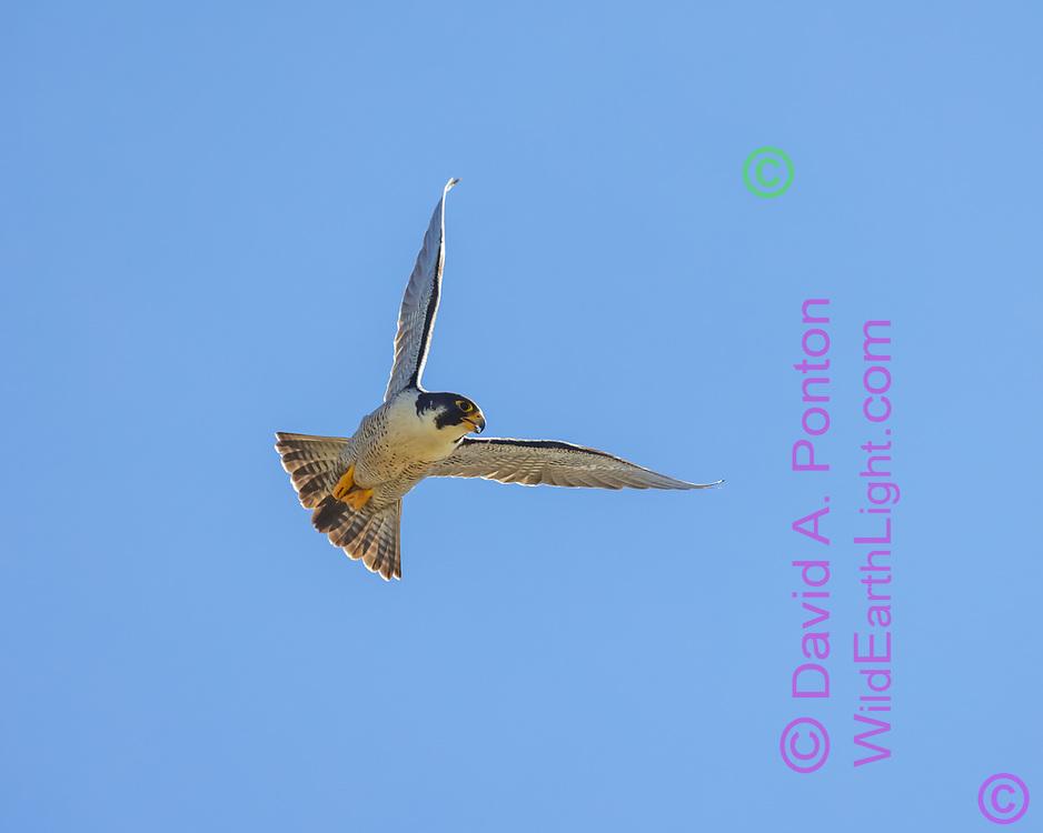 Peregrine falcon in flight, blue sky background, © David A. Ponton