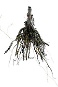 still life of sunflower roots after harvesting the flower