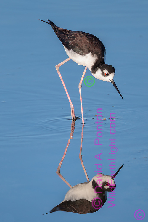 Black-necked stilt wading in shallows, with reflection, © David A. Ponton
