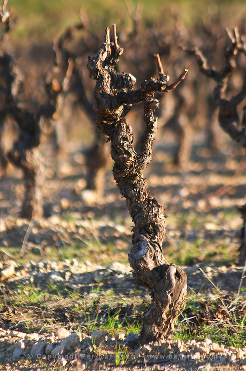 Chateau Villerambert-Julien near Caunes-Minervois. Minervois. Languedoc. Vines trained in Gobelet pruning. Old, gnarled and twisting vine. France. Europe. Vineyard.
