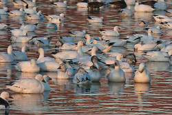 Snow geese (Chen caerulescens), Bosque del Apache National Wildlife Refuge, New Mexico, USA