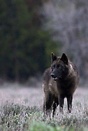 Black Pacific Creek Wolf, Grand Teton National Park