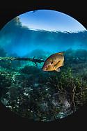 Redear Sunfish<br /> <br /> Jennifer Idol/Engbretson Underwater Photography
