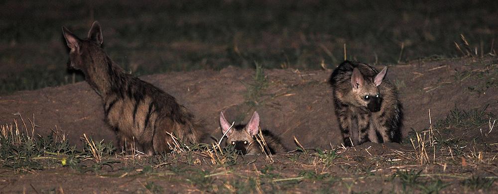 Three aardwolves stand in a hole in the Okavango Delta, Botswana.