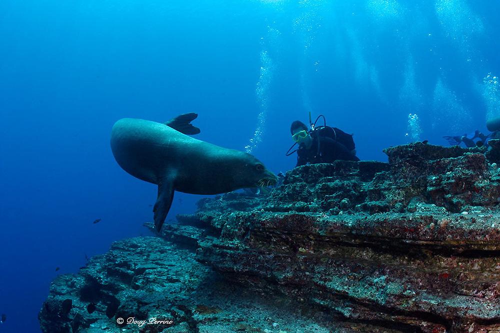 scuba divers observe Hawaiian monk seal ( Neomonachus schauinslandi ) critically endangered and endemic to Hawaiian Islands, Lehua Rock, near Niihau, off Kauai, Hawaii ( Central Pacific Ocean )