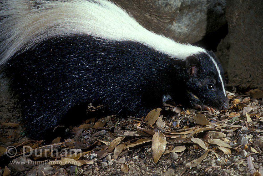 A wild striped skunk (Mephitis mephitis) photographed at night in the Coronado National Forest, Arizona. Summer 2000.