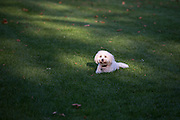 Local dogs in London - this is Lazlo the Coton de Tulear