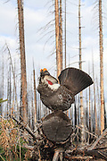 Male Dusky grouse in habitat