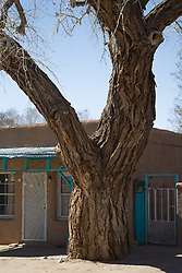 large Cottonwood Tree in front of a house in Cerrillos, NM