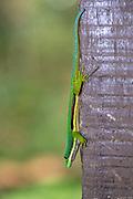 Lined day gecko (Phelsuma lineata) from Andasibe, Madagascar.