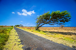 Wind-blown tree, South Point Road, Big Island, Hawaii