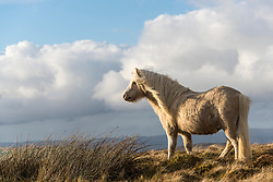 © Licensed to London News Pictures. 03/02/2021. Builth Wells, Powys, Wales, UK. Welsh mountain ponies graze in very cold Westerly winds after the snow has melted on the Mynydd Epynt range near Builth Wells in Powys, Wales, UK. Photo credit: Graham M. Lawrence/LNP