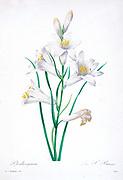 19th-century hand painted Engraving illustration of a bunch of lily flowers, by Pierre-Joseph Redoute. Published in Choix Des Plus Belles Fleurs, Paris (1827). by Redouté, Pierre Joseph, 1759-1840.; Chapuis, Jean Baptiste.; Ernest Panckoucke.; Langois, Dr.; Bessin, R.; Victor, fl. ca. 1820-1850.
