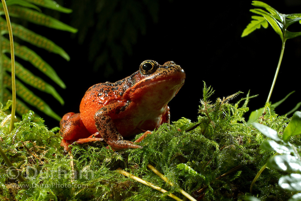 Northern red-legged frog (Rana aurora). female. © Michael Durham / www.DurmPhoto.com