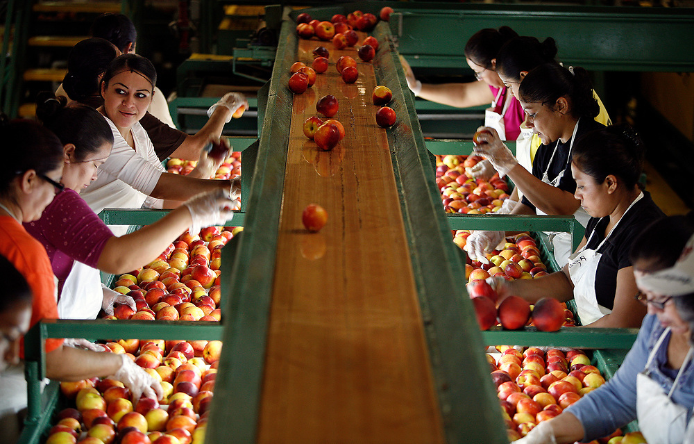Women sort thousands of peaches a day.