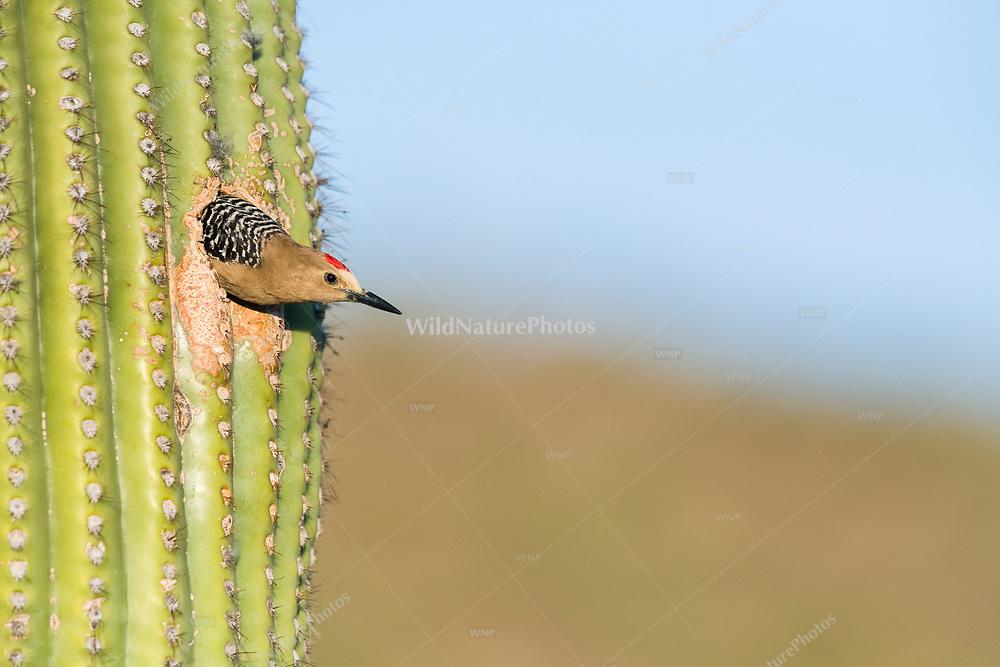 A male Gila Woodpecker (Melanerpes uropygialis) looks out from his nest in a Saguaro (Carnegiea gigantea). Arizona