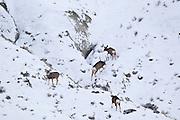 Mule deer (Odocoileus hemionus)bucks chasing doe during rut