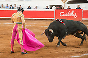 Mexican Matador Arturo Macias presents his cape to the bull as it charges during a bullfight at the Plaza de Toros in San Miguel de Allende, Mexico.