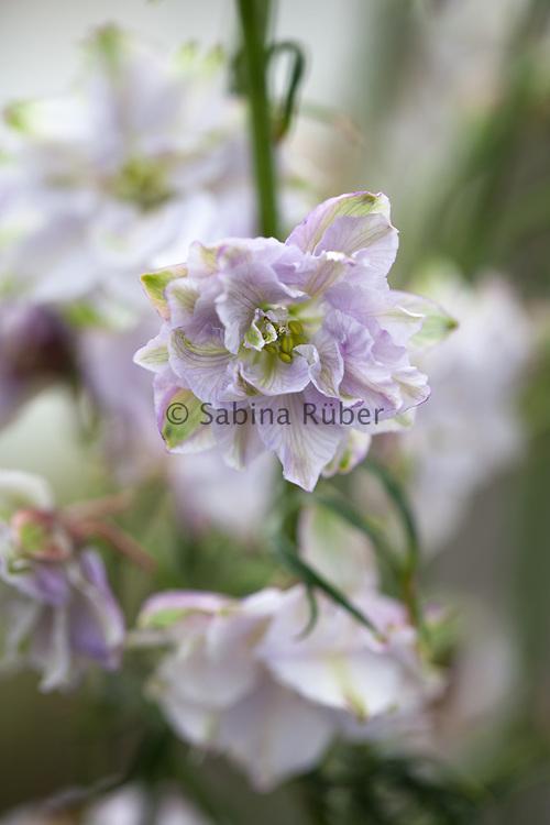 Delphinium consolida 'Fancy Smoke Eyes' - branching larkspur