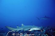 tawny nurse shark, Nebrius ferrugineus, with bite on dorsal fin from silvertip shark, Carcharhinus albimarginatus (in background), Andaman Sea, Thailand ( Indian Ocean )