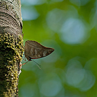 A tropical butterfly rests on a tree branch near the Yanayacu River in Peru's Amazon Jungle.