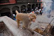 A monky returning to the forrest after having been fed at the Pashupatinath Temple. The monkey runs past a body being cremated according to Hindu tradition.