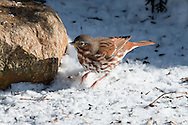 A fox sparrow kicking up snow in its search for food.