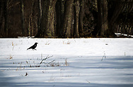 A long crow out for a stroll in a field, next to a forest, in the snow in Maine.