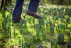 Being careful to avoid treading on the new shoots of naturalised bulbs - narcissus