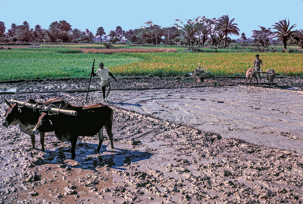 Two farmers and two yoked cattle in a muddy rice field not yet planted.  Beyond, another field flourishing with green growing rice.