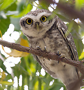 Spotted Owlet (Athene brama) from Chanoud Garh, Rajasthan, India.