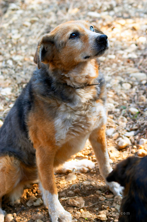 A truffle dog waiting for the reward after finding a truffle  at La Truffe de Ventoux truffle farm, Vaucluse, Rhone, Provence, France