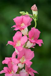 Antirrhinum 'Chantilly Pink'. Snapdragon