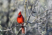 Tanagers, Cardinals & Allies